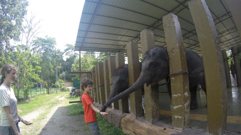 j22 b n voles au sanctuaire des l phants de kuala gandah les kd des pyr n es en malaisie. Black Bedroom Furniture Sets. Home Design Ideas